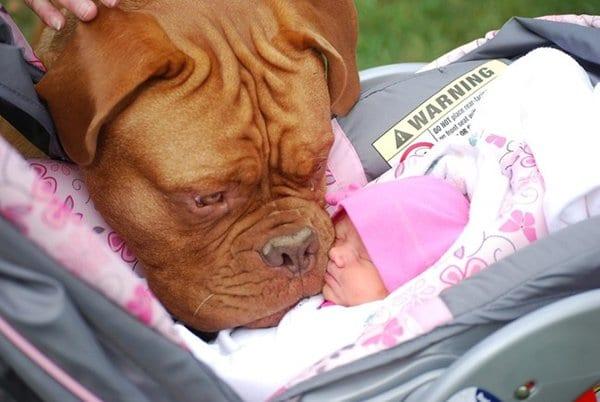 baby-and-mastiff