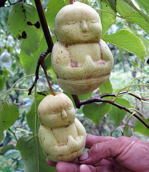 buddha pears tree hand