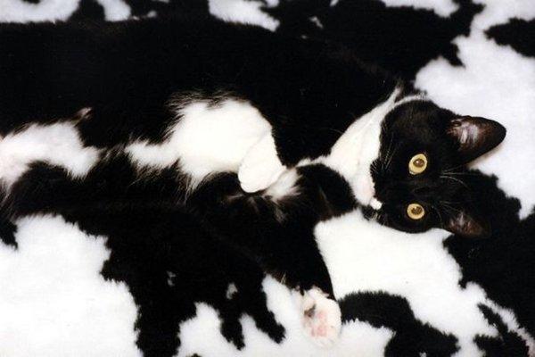 camo-cats-cow