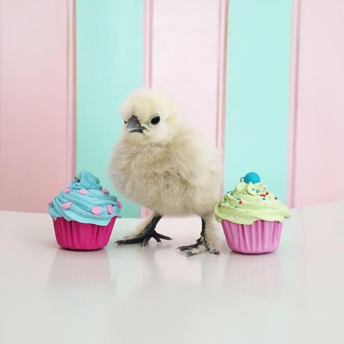 chick between cupcakes