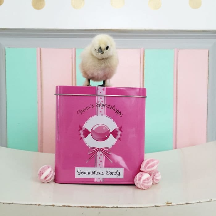 chick candy tin