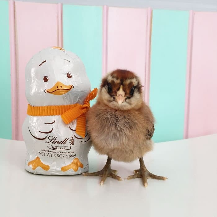 chick posing lindt chick