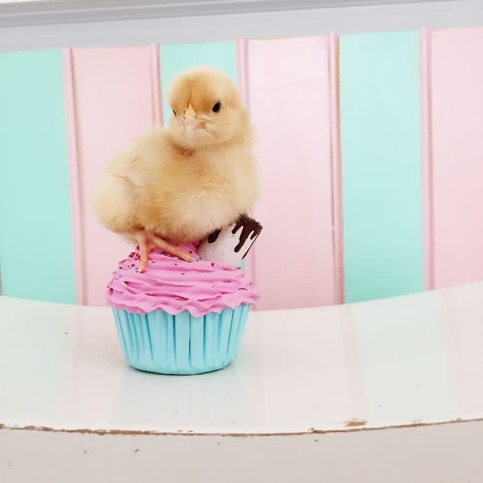 chick seated on cupcake