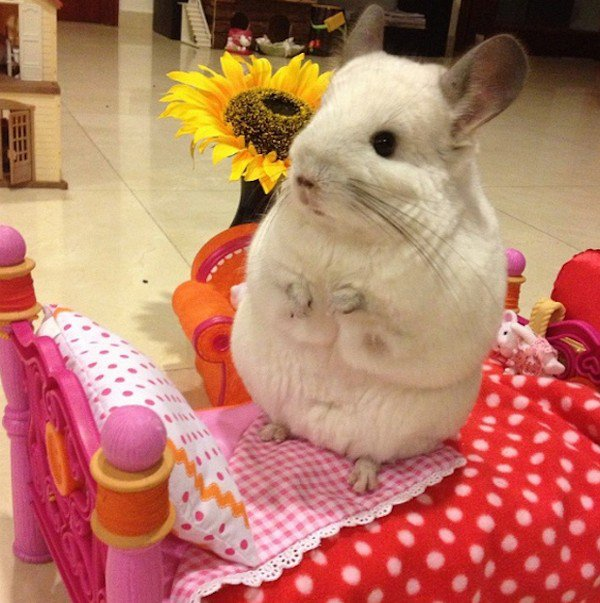 Bubu The Chinchilla Will Steal Your Heart With Its Cuteness