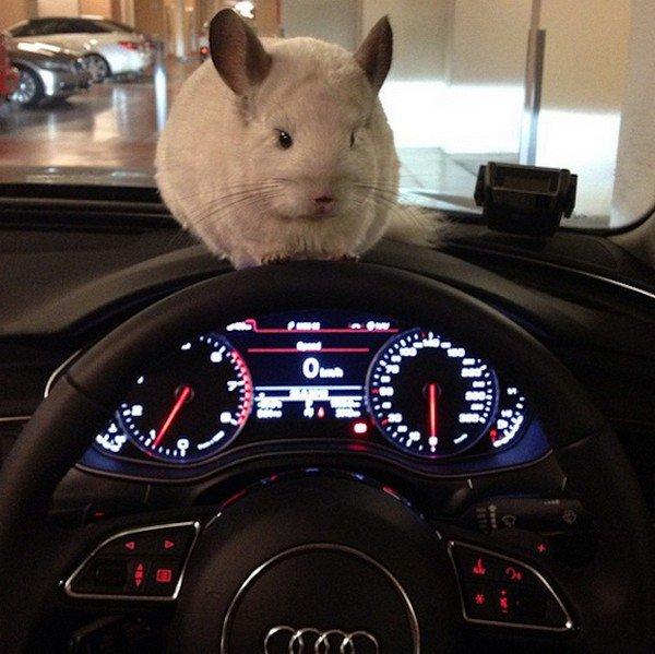 chinchilla car dash