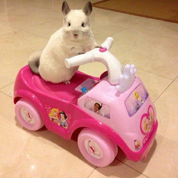 chinchilla car