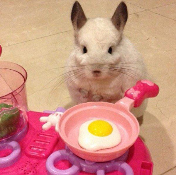 chinchilla cooking egg