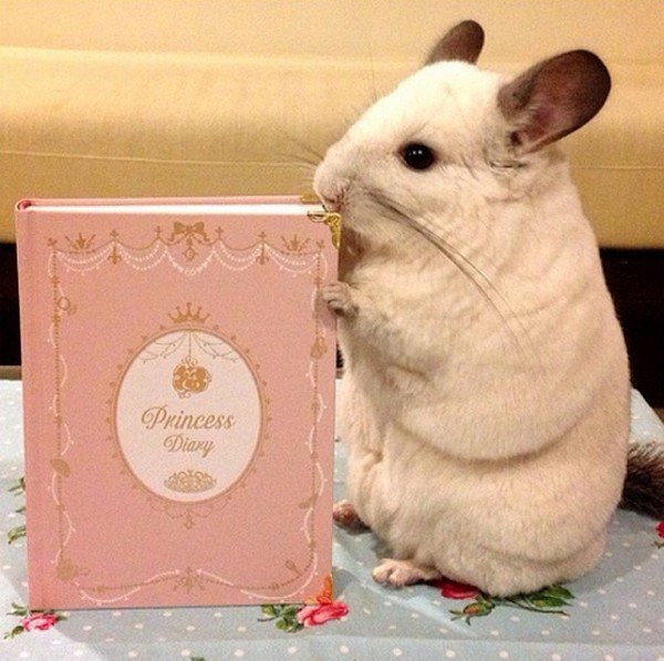 chinchilla diary