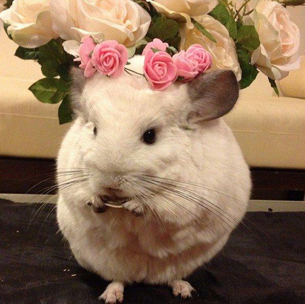 chinchilla flowers head