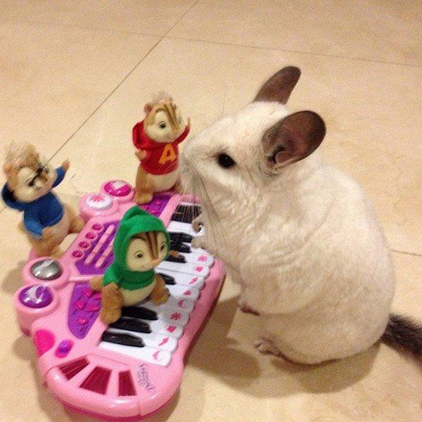 chinchilla keyboard chipmunks