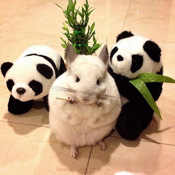 chinchilla pandas
