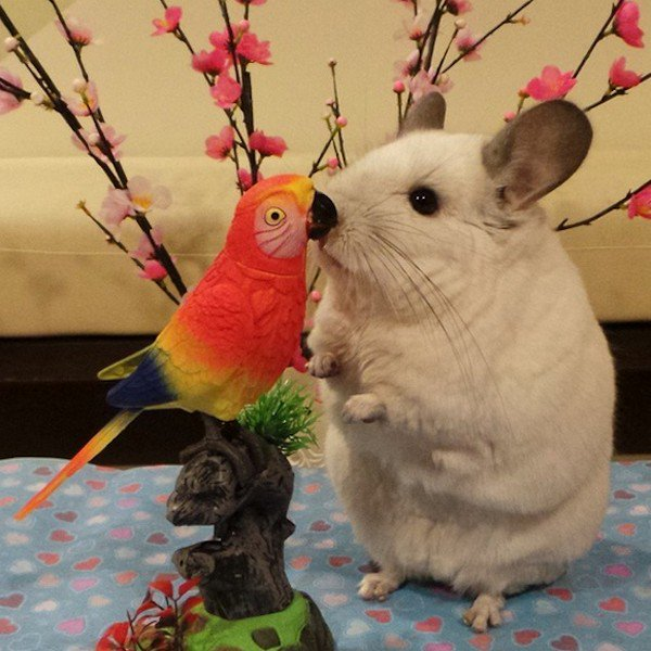 chinchilla parrot