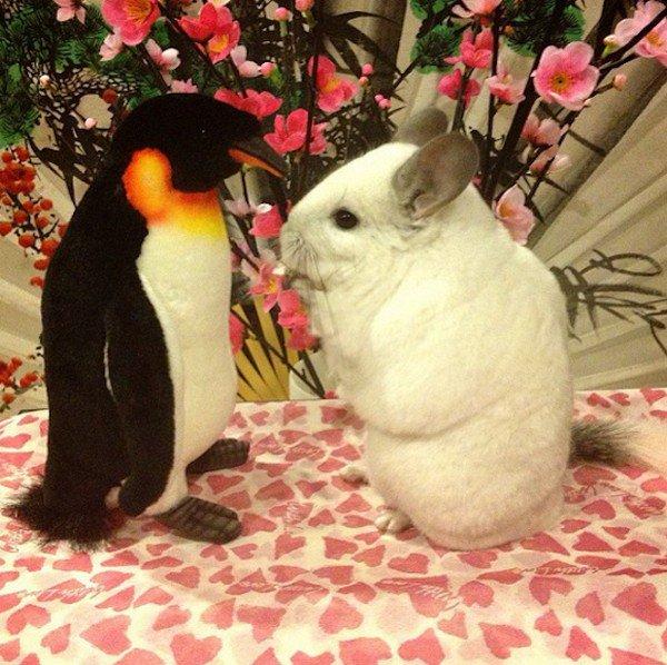 chinchilla penguin