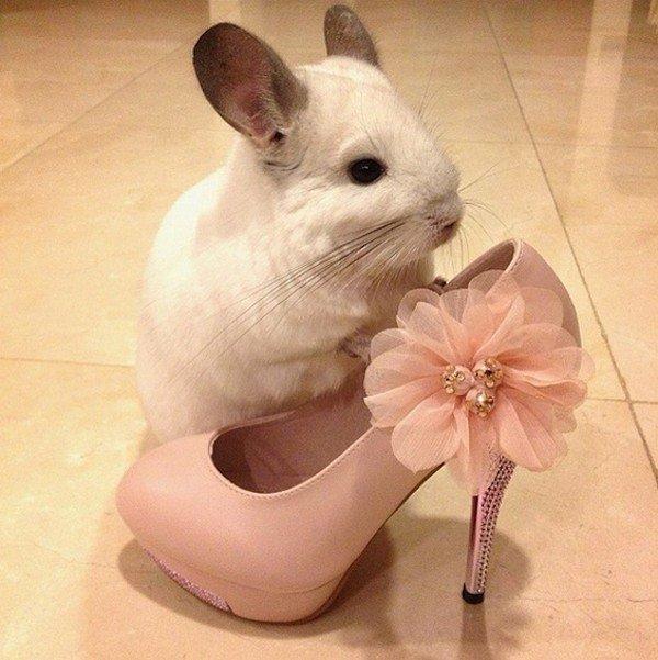 chinchilla shoe