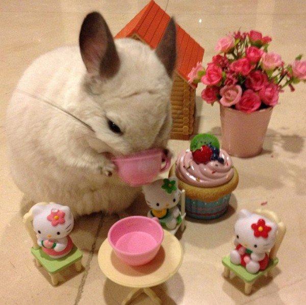 chinchilla tea party hello kitty