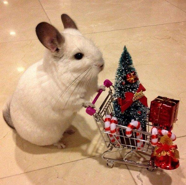 chinchilla trolley christmas