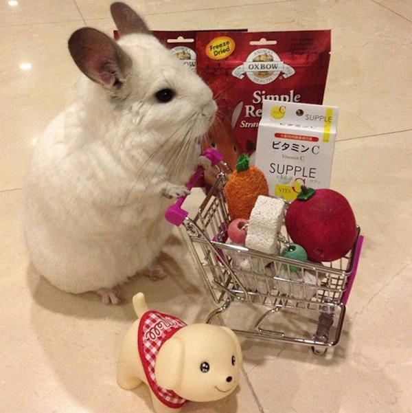 chinchilla trolley dog