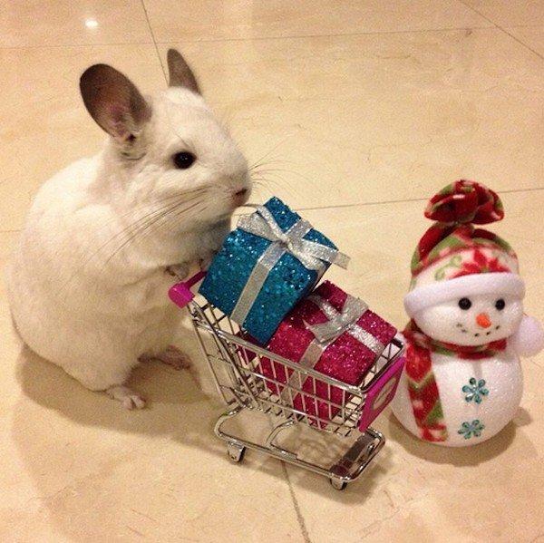 chinchilla trolley