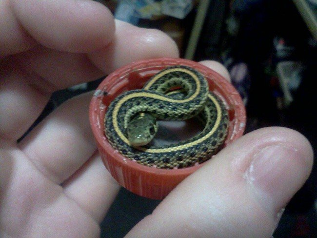 snake curled up in red bottle lid