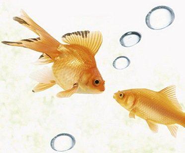 goldfish decals bubbles