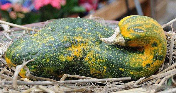 goose gourd