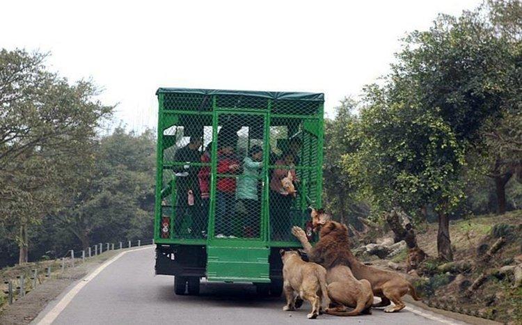 lehe-ledu-wildlife-zoo-lions