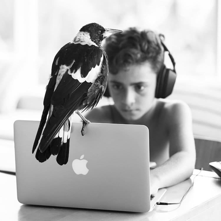 penguin-rescued-magpie-laptop