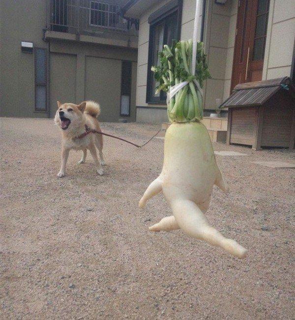 running radish dog