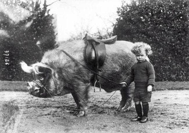 strange-history-pig