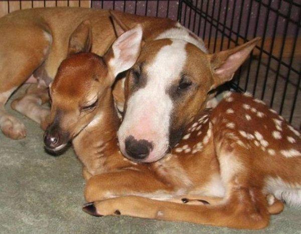 unlikely-sleeping-buddies-bull-terrier-deer