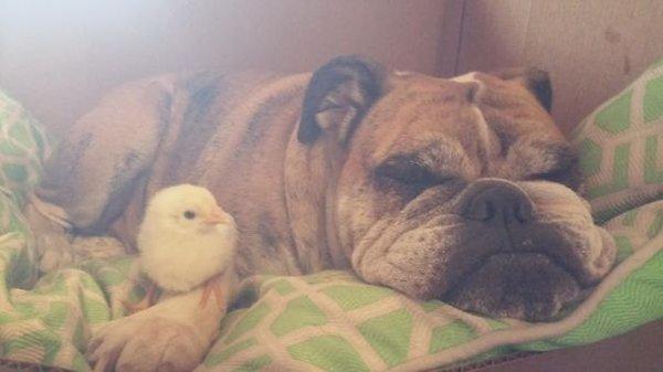 unlikely-sleeping-buddies-bulldog-chick