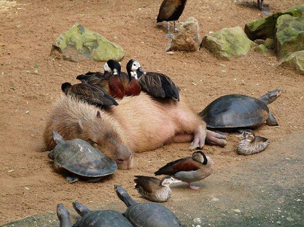 unlikely-sleeping-buddies-capybara-geese