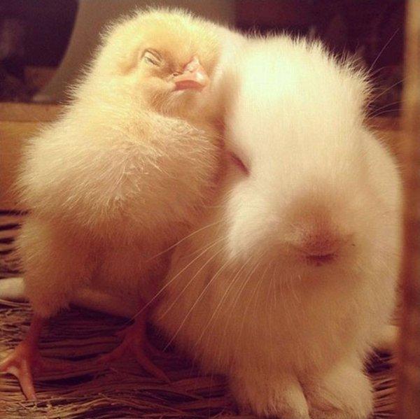 unlikely-sleeping-buddies-chick-rabbit