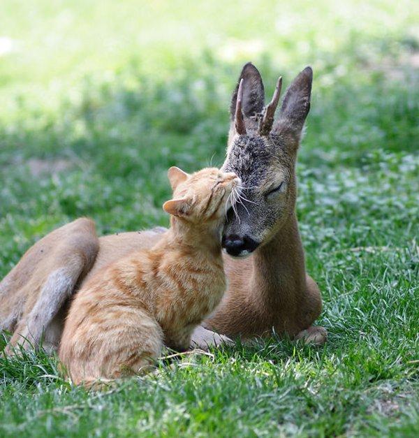 unlikely-sleeping-buddies-deer-cat