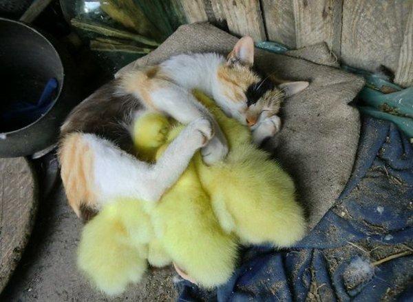 unlikely-sleeping-buddies-duck-cat