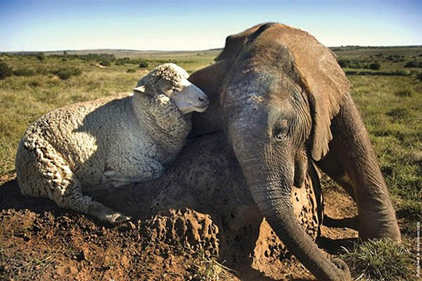 unlikely-sleeping-buddies-elephant-sheep