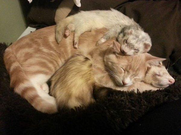unlikely-sleeping-buddies-ferrets-cat