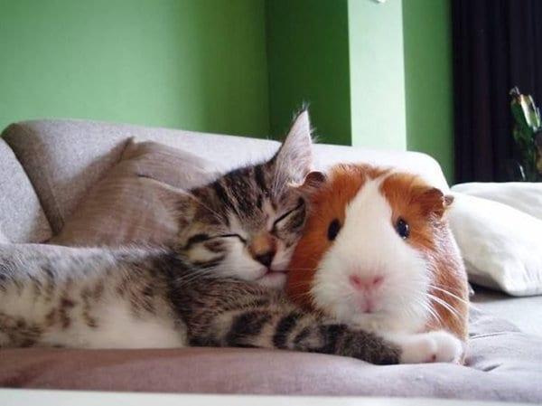 ПРИЈАТЕЛИ - Page 3 Unlikely-sleeping-buddies-guinea-pig-cat