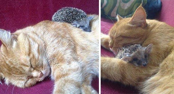unlikely-sleeping-buddies-hedgehog-cat