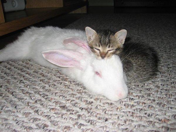 unlikely-sleeping-buddies-kitten-rabbit