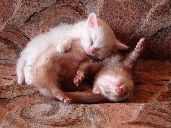 ПРИЈАТЕЛИ - Page 3 Unlikely-sleeping-buddies-kittens