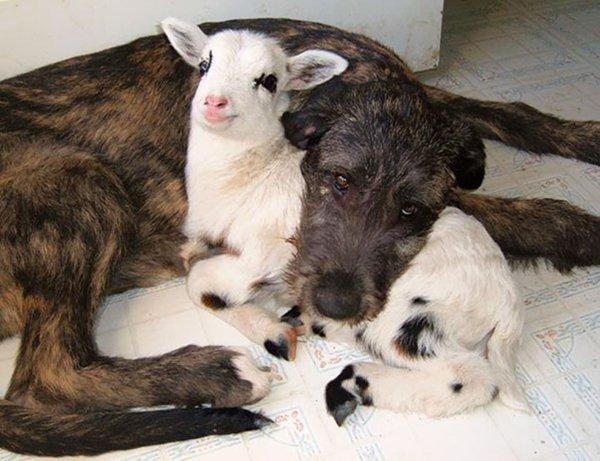 ПРИЈАТЕЛИ - Page 3 Unlikely-sleeping-buddies-lamb-dog