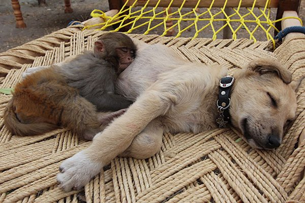 ПРИЈАТЕЛИ - Page 3 Unlikely-sleeping-buddies-monkey-dog
