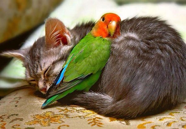 unlikely-sleeping-buddies-parakeet-kitty