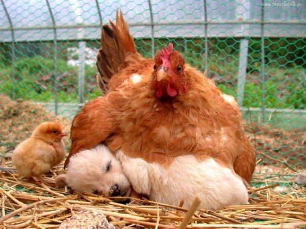 unlikely-sleeping-buddies-puppy-chicken