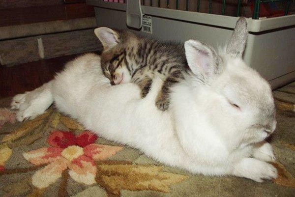 unlikely-sleeping-buddies-rabbit-cat