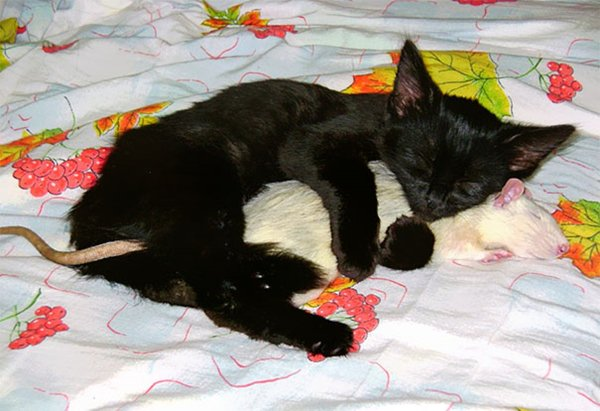 ПРИЈАТЕЛИ - Page 3 Unlikely-sleeping-buddies-rat-cat