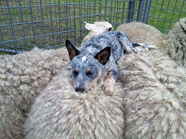 ПРИЈАТЕЛИ - Page 3 Unlikely-sleeping-buddies-sheepdog