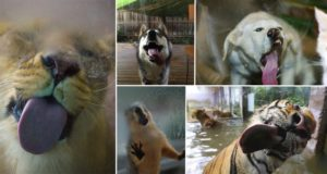 Animals Licking Glass