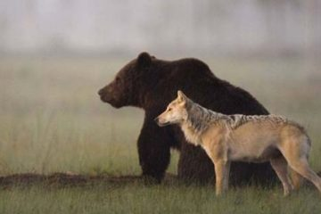 Bear And Wolf friends